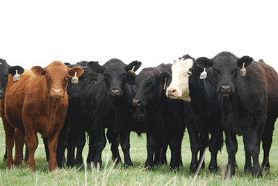 Value-Added Feeder Cattle Sale