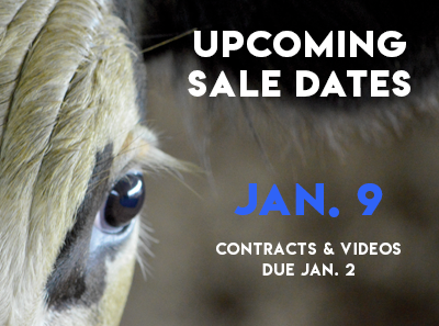 Special Video Cattle Sale